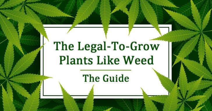 Plants That Look Like Weed